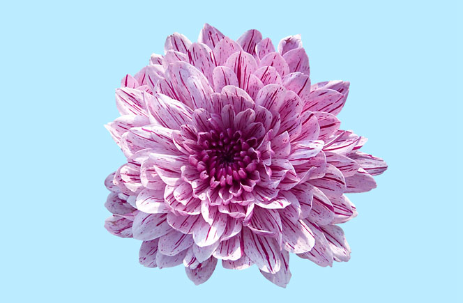 Crisantemo – La flor de los mil pétalos