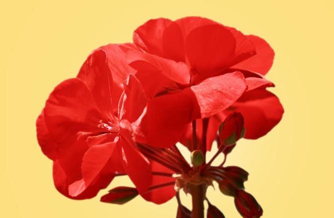 Geranios – Flor de colores
