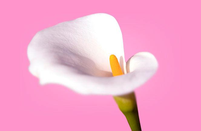 Calas – Flor de la elegancia