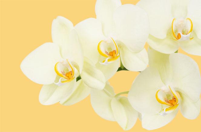 Orquídeas – Como cuidarlas en casa