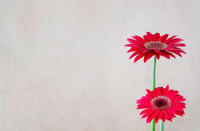 Gerberas - Flor De Colores