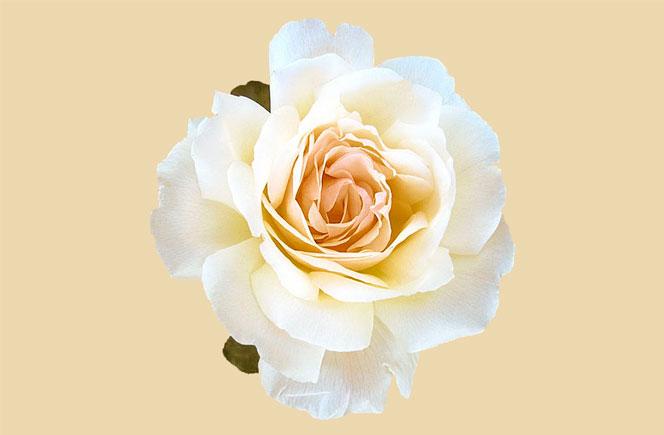 Ramos de rosas – Significado de su color
