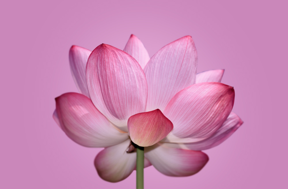 Flor De Loto La Flor De La Meditación Blog De Flores Colvin