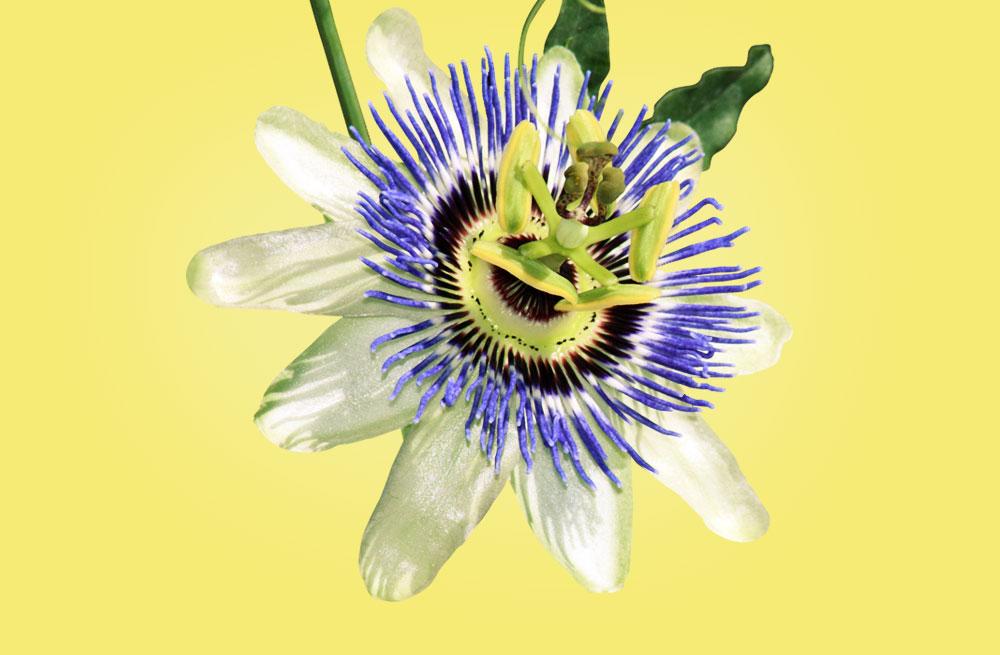 Flor de la pasion – Passiflora