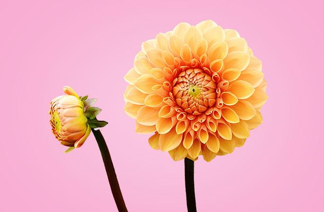 Dahlias – La flor de Mexico