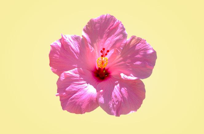Hibiscus Flor Dieta Medicina