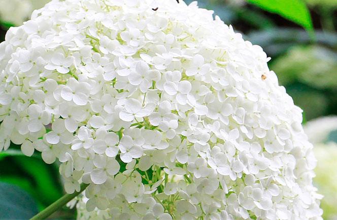 Cuidados de la hortensia blog de flores y noticias frescas - Cuidados de las hortensias ...