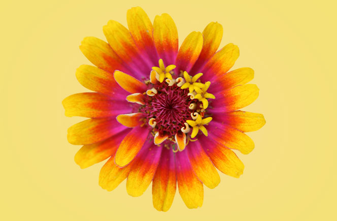 Zinnias – La Flor de Papel