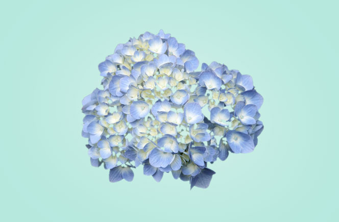 Cuidados de la hortensia blog de flores y noticias frescas - Hortensias cuidados poda ...