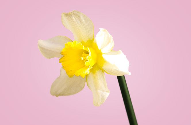 Narcisos – La flor del egoísmo