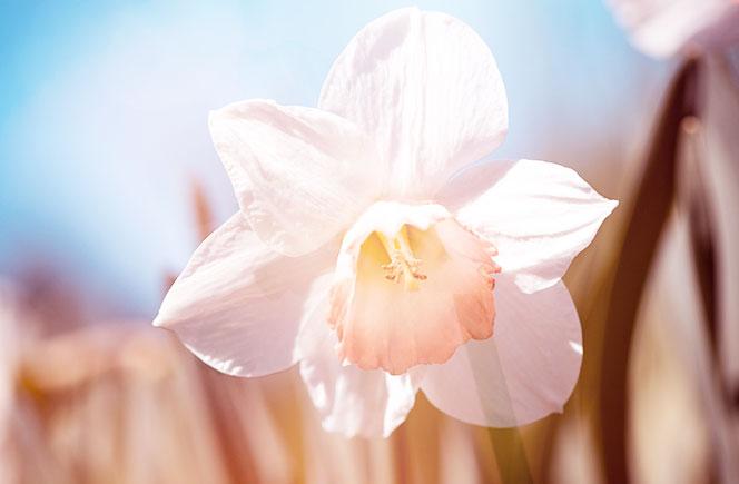 Como cuidar narcisos Flores Colvin