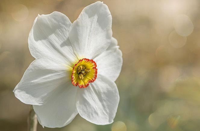 Flores Narcisos Significados Colvin