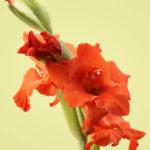 Los Gladiolos – Flor de la Victoria
