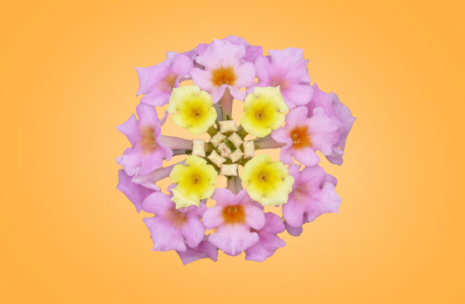 Lantanas blog de flores y noticias frescas - The colvin co ...
