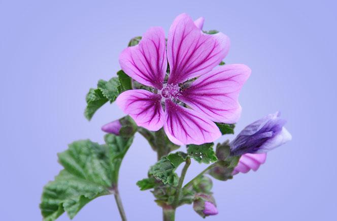 La Malva, una planta medicinal