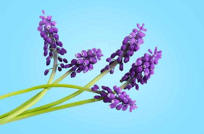 El muscari flor del mediterr neo blog de flores y - The colvin co ...