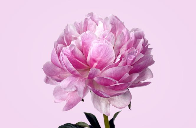 Peon as la preferida de muchos blog de flores colvin - The colvin co ...