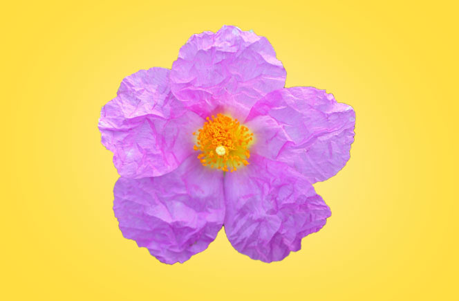 Cistus, la flor que resiste al fuego