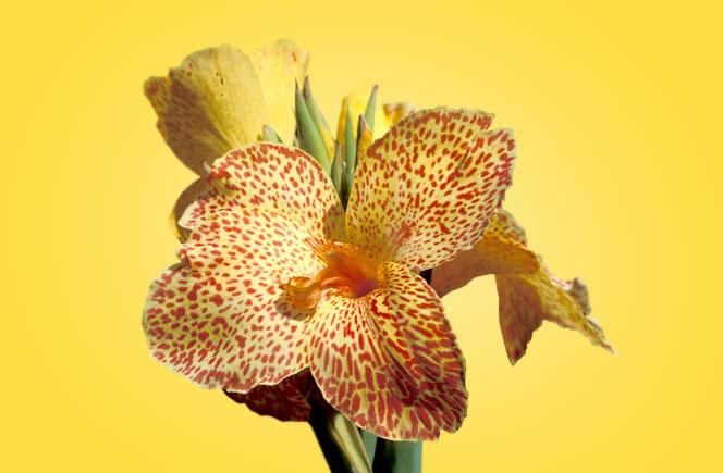 Cannas, la flor con mil usos