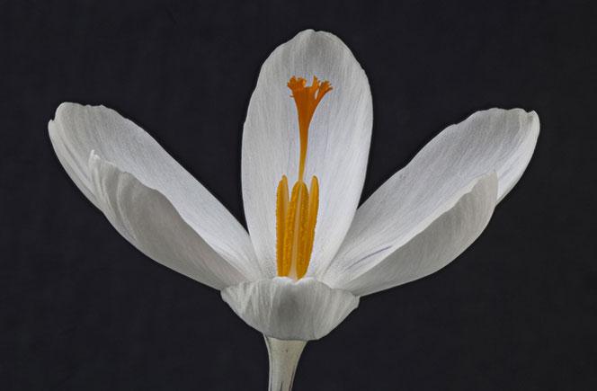 Crocus, la flor de azafrán