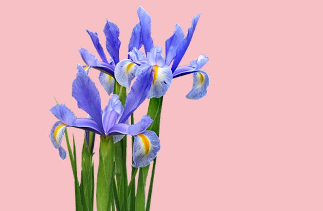 Flor de Iris, la figura mitológica