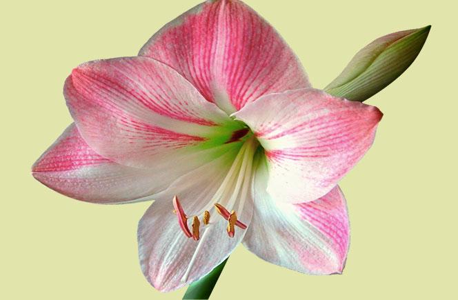 Amaryllis, una flor para Navidad