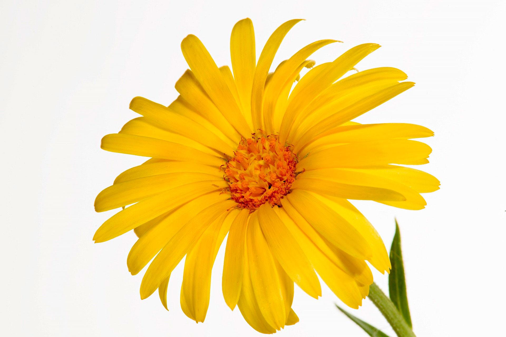 calendula flor medicinal cicatrizante