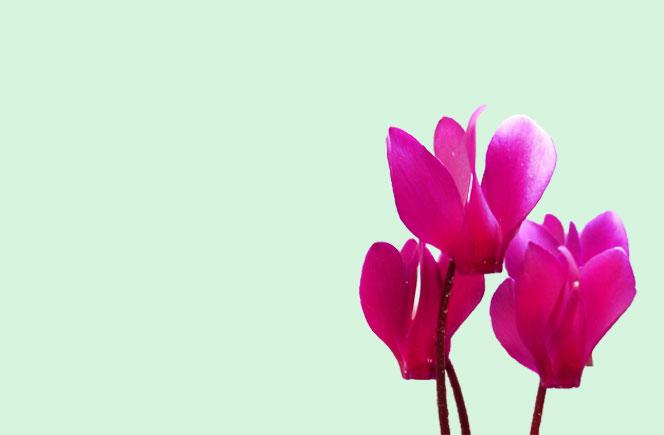 Cyclamen, la flor del invierno