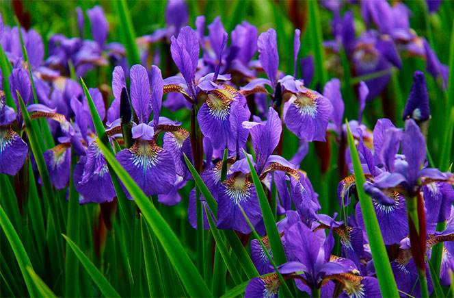flor de iris lila