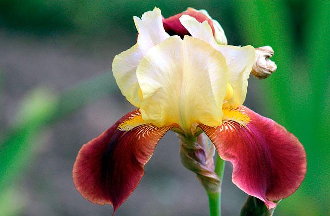 flor de iris detalle