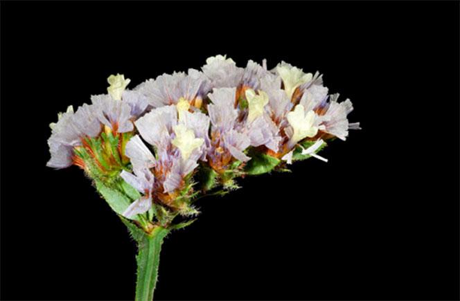 Limonium, la flor ornamental