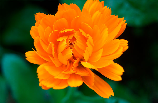 flores calendula