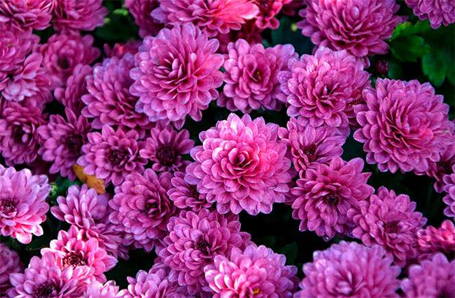 flores crisantemo