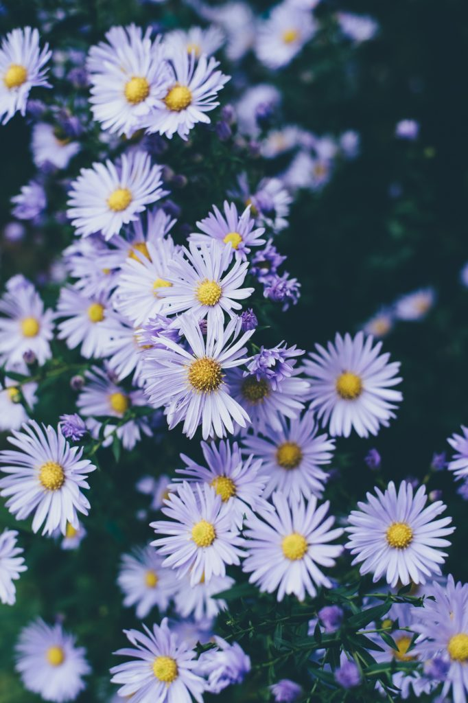 aster lilas