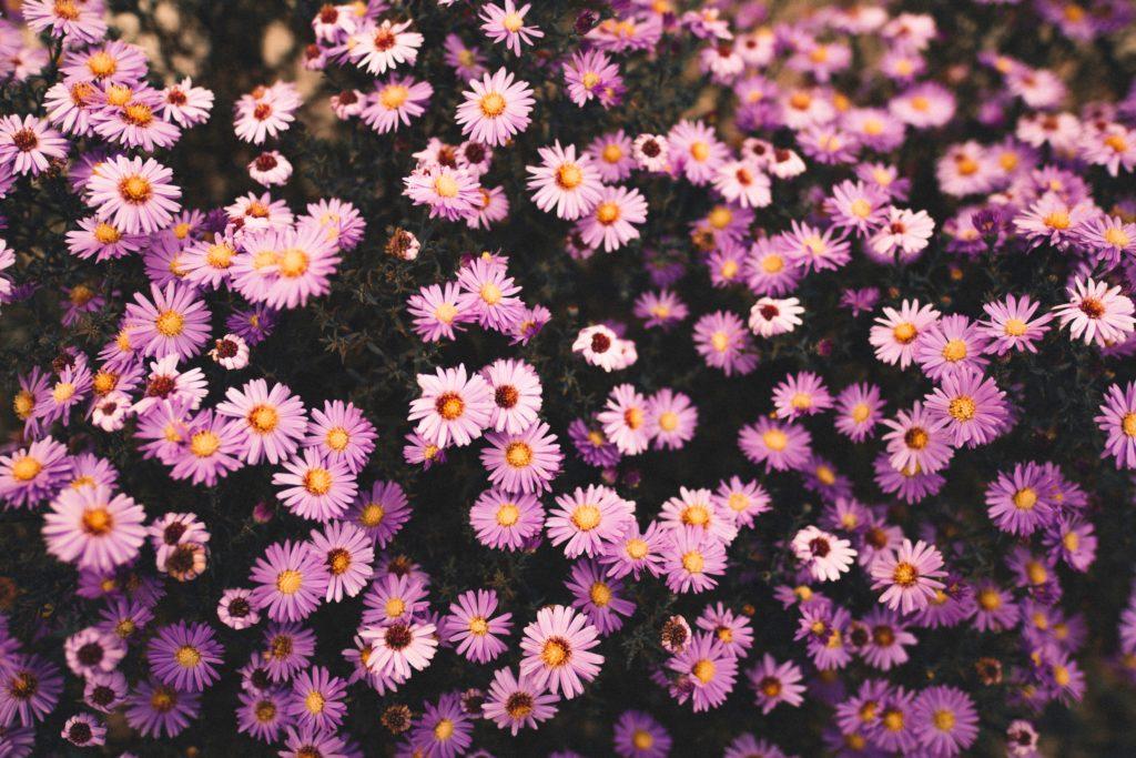 Flor aster: la belleza en persona