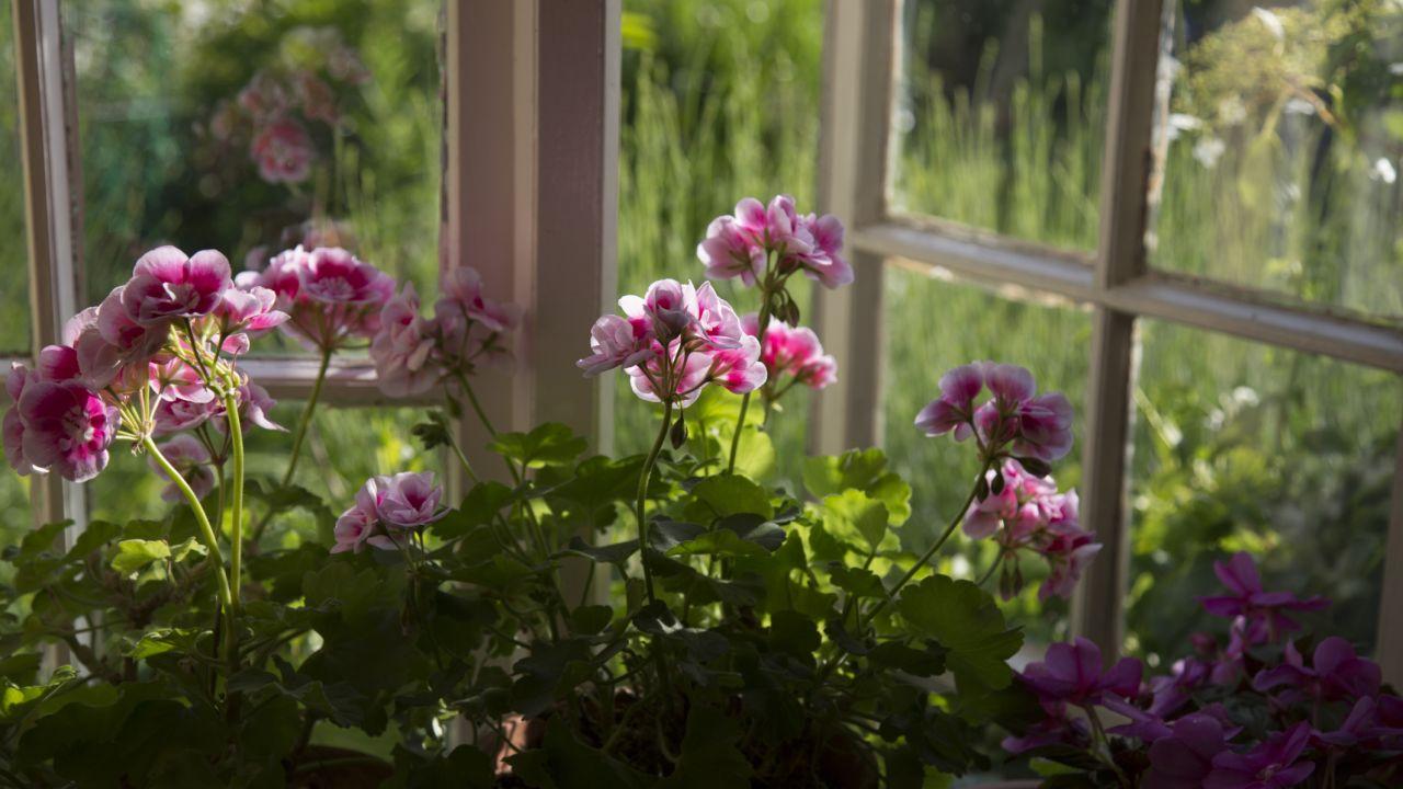 geranios rosas ventana