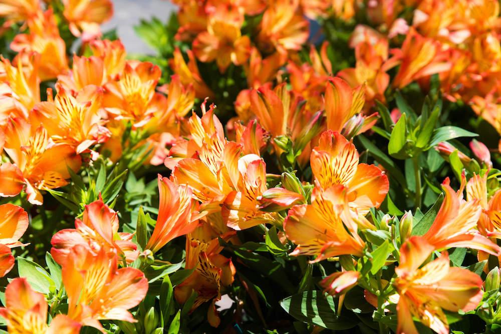 Astromelia – Flor con una leyenda