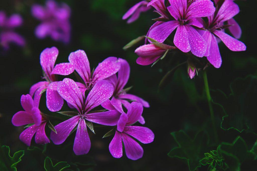 Flores de geranios – cuidados en verano
