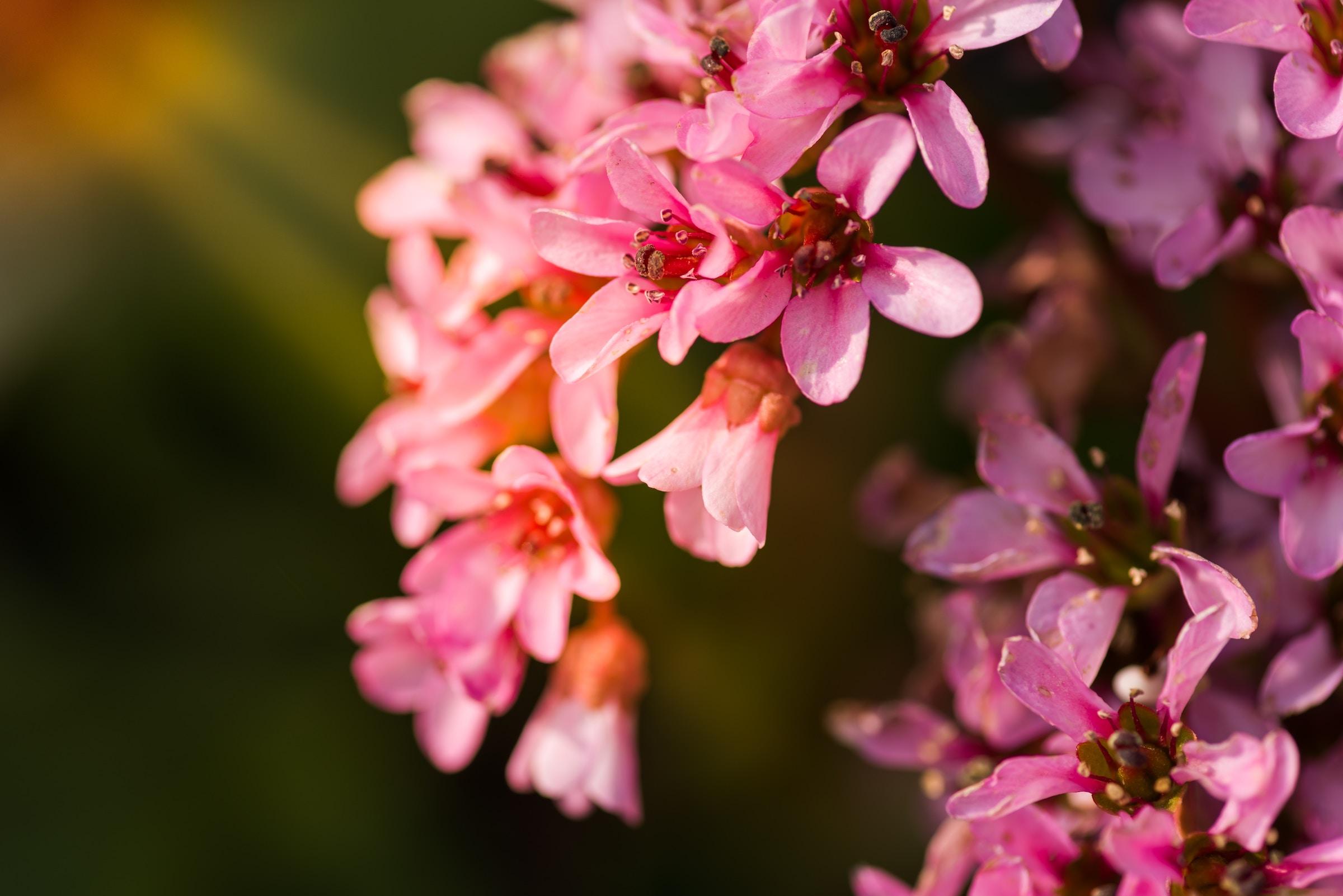 verbena rosa