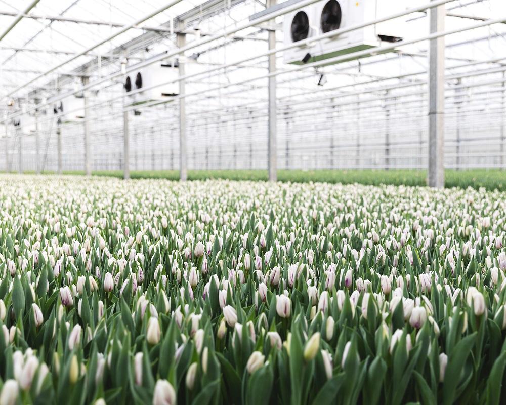 tulipanes-blancos