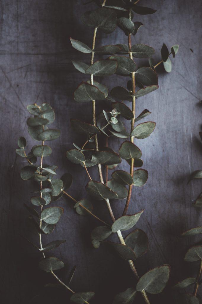 eucalipto ramas