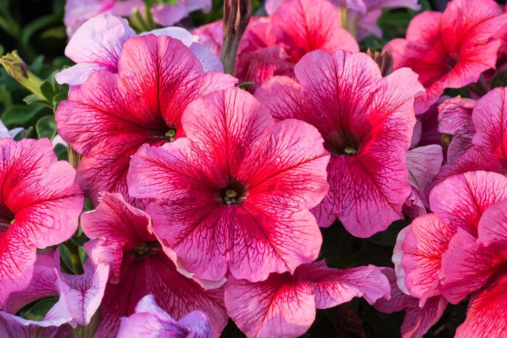 Petunia, la flor que decora las calles