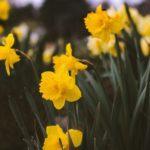 Flor narciso y su historia