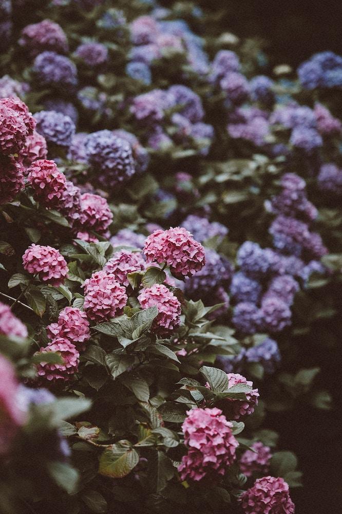 hortensia colores