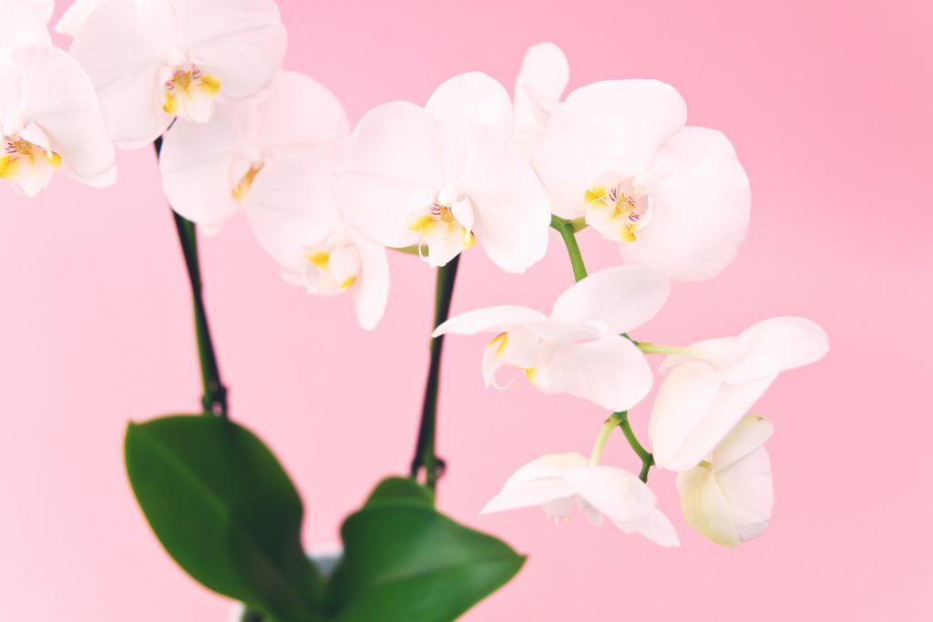 Flor orquídea y sus peculiaridades