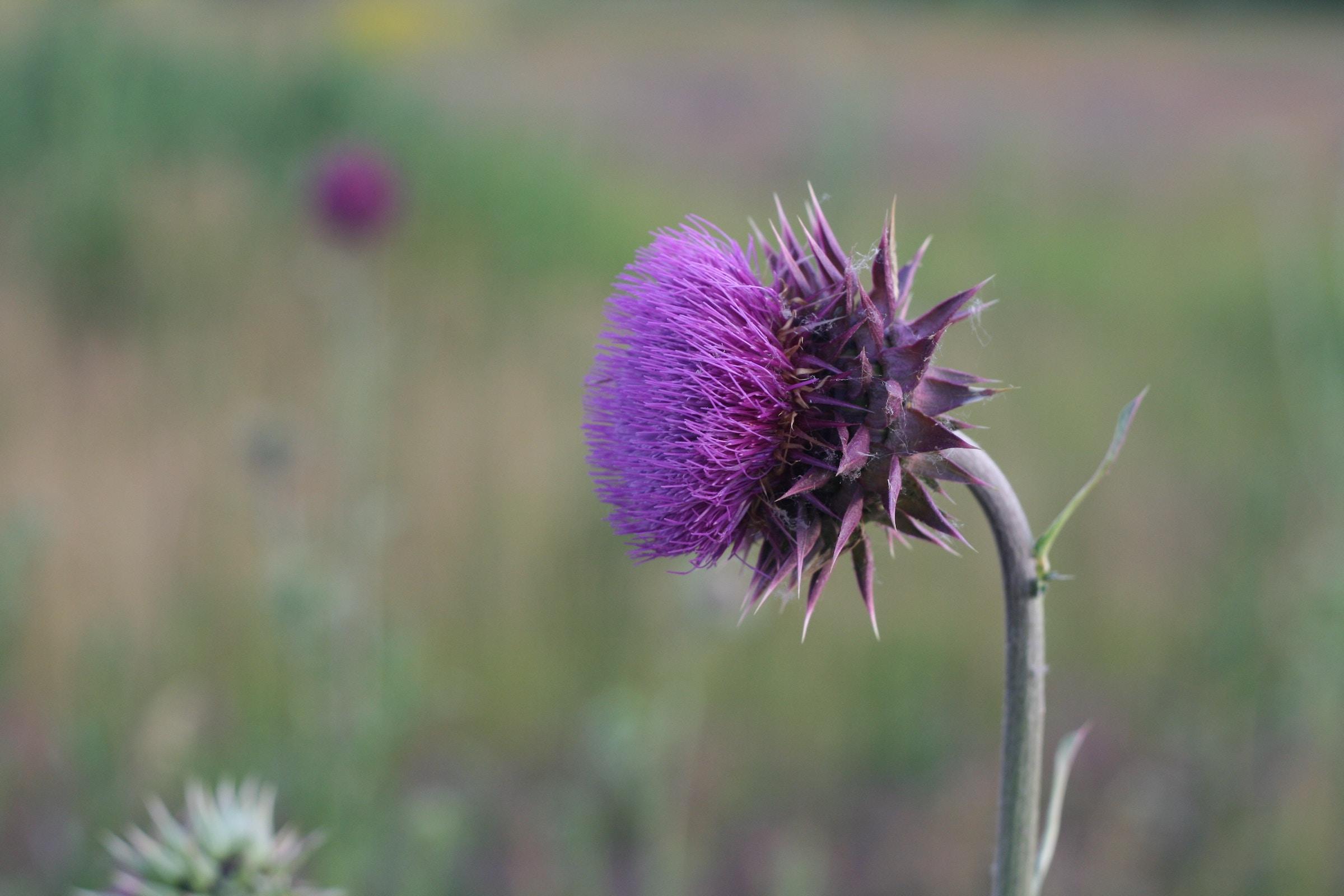 cardo flor lila