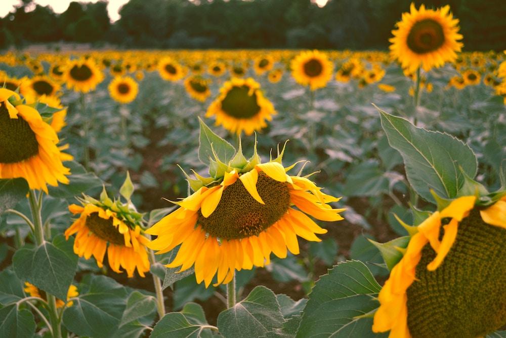 flores en verano girasol