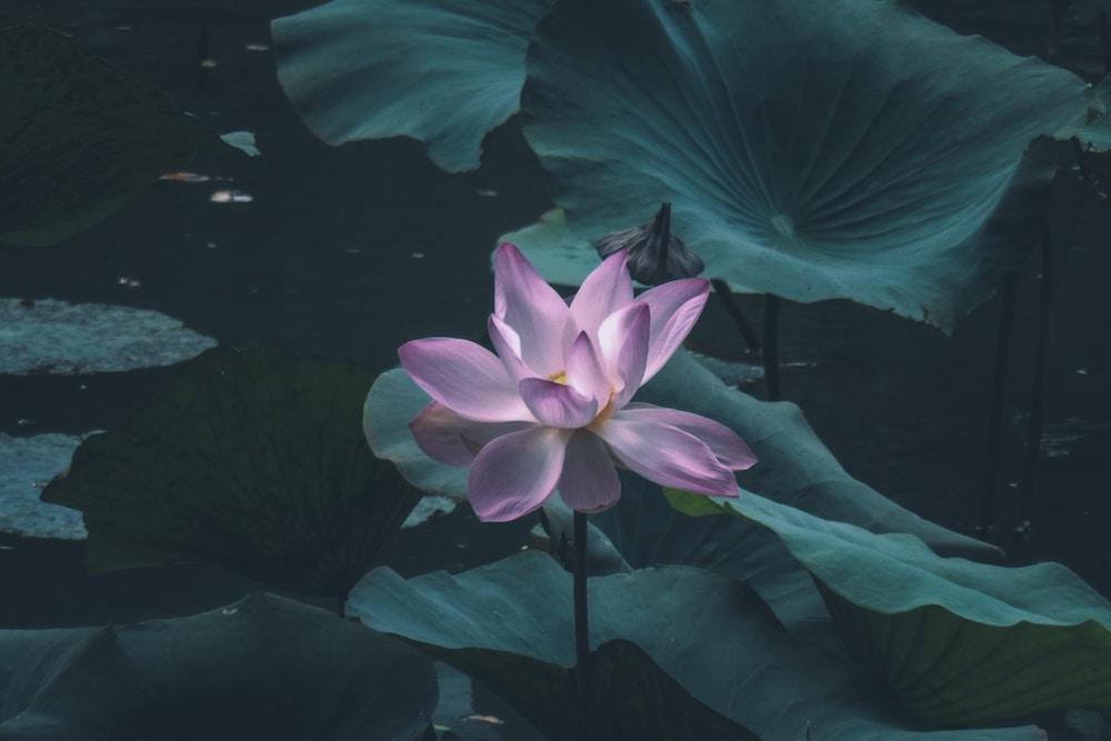 flor-de-loto-rosa