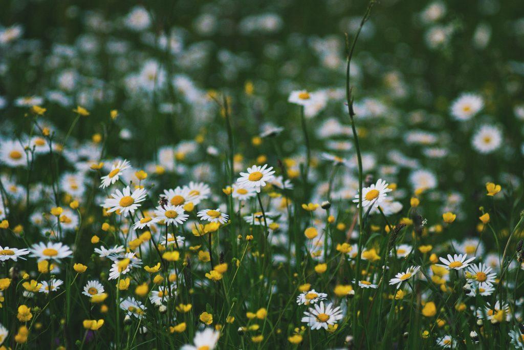 La preciosa flor margarita