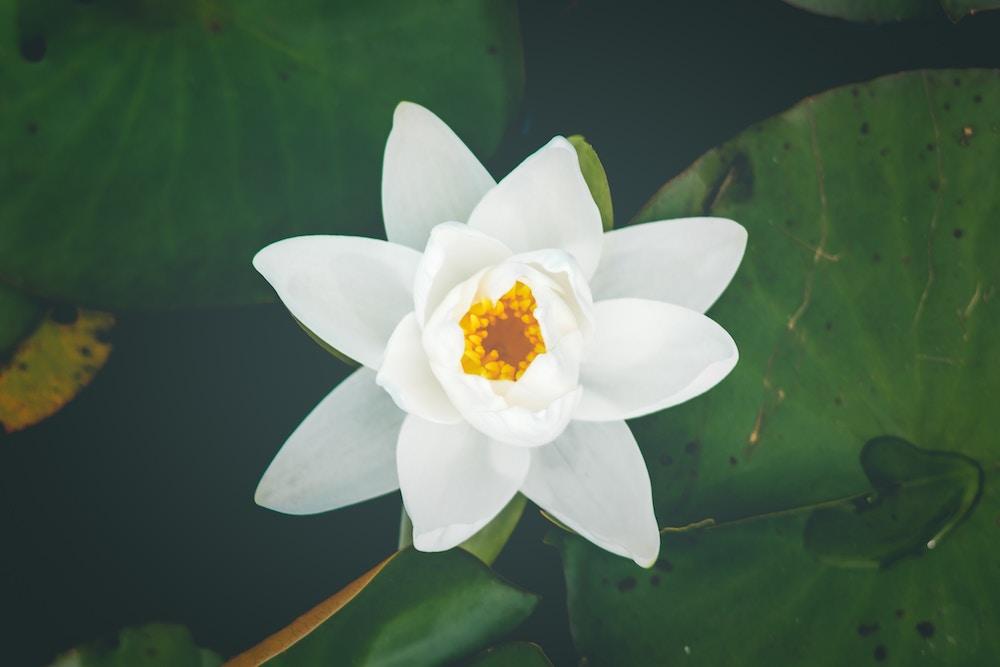 flor-de-loto-blanca